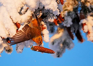 Common Crossbill (Loxia curvirostra) foraging on spruce cone from a snowy branch. Kuusamo, Finland, February.  -  Markus Varesvuo
