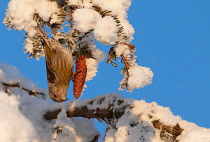 Common Crossbill (Loxia curvirostra) female foraging on a spruce cone. Kuusamo, Finland, February. - Markus Varesvuo