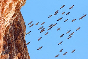 Flock of Crane (Grus grus) flying overhead with a cliff in the foreground. Spain, March.  -  Markus Varesvuo