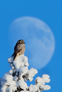 Hawk Owl (Surnia ulula) perched on snowy tree in front of the moon. Kuusamo, Finland, February. - Markus Varesvuo