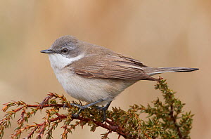 Lesser Whitethroat (Sylvia curruca) perched. Uto, Finland, May.  -  Markus Varesvuo