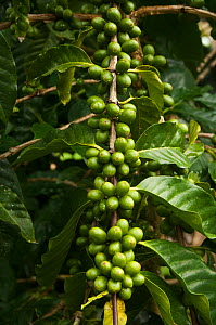 Galapagos coffee (Coffea sp) grown under the shade of the endemic (Scalesia pedunculata) trees, for export, Highlands of Santa Cruz Island, Galapagos - Pete Oxford