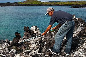 Research worker examines Flightless Cormorant (Phalacrocorax / Nannopterum harrisi) on nest, in order to read its tag, endemic. Isabela Island, Galapagos, September 2008  -  Pete Oxford