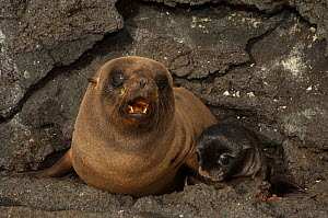 Galapagos Fur seal (Arctocephalus galapagoensis) and pup on rocks, pup was born 30 minutes earlier, Cabo Douglas, Fernandina Island, Galapagos, endemic.  -  Pete Oxford