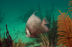 Gray angelfish (Pomacanthus arcuatus) Coral Reef Island, Belize Barrier Reef, Belize  -  Pete Oxford
