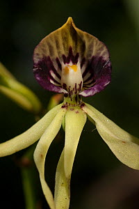 Black Orchid (Prosthechea cochleata) flower, the Natinal flower of Belize - Pete Oxford