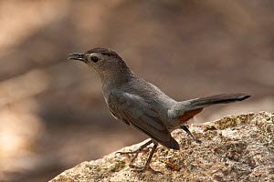 Gray Catbird (Dumetella carolinensis) perched on rock, Belize - Pete Oxford