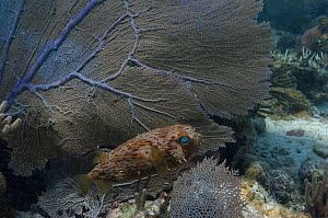 Balloonfish (Diodon holocanthus) beside fan coral, Coral Reef Island, Belize Barrier Reef, Belize  -  Pete Oxford