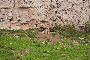 Coyote (Canis latrans) pup looking out from its den entrance under a cliff. Montana, USA, June. - Charlie Summers
