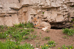 Coyote (Canis latrans) pup looking out from its den entrance. Montana, USA, June. - Charlie Summers