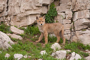 Coyote (Canis latrans) pup standing by a cliff. Montana, USA, June. - Charlie Summers