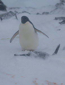 Adelie Penguin (Pygoscelis adeliae) standing guard next to snow covered nesting mate. If unseasonal heavy snow falls these penguins protect their eggs and young by lying on them. Turret Point, South S... - Charlie Summers