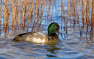 Greater Scaup (Aythya marila) drake or male (first winter) on water by reeds. Gloucestershire, UK, January.  -  David Kjaer