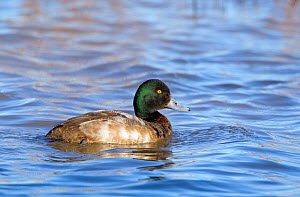 Greater Scaup (Aythya marila) drake or male (first winter) on water. Gloucestershire, UK, January.  -  David Kjaer