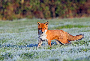 Portrait of a Red Fox (Vulpes vulpes) in a frosty field. Buckinghamshire, UK, December.  -  David Kjaer
