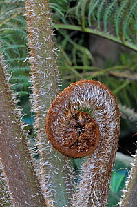 Norfolk Tree Fern (Cyathea brownii). Young frond unfurling. UK, March.  -  Adrian Davies