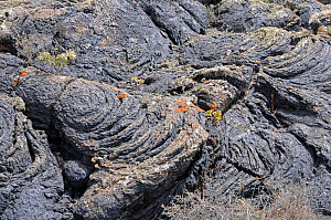 Lava field, with lichens, and Aeonums sp. Timanfaya National Park, Lanzarote, Canary Islands, Spain, July. - Adrian Davies