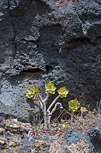 Solidified lava with Aeonium sp. colonizing, Lanzarote, Canary Islands, Spain, July. - Adrian Davies