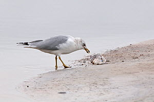 Ring-Billed Gull (Larus delawarensis) scavenging  dead fish. Fort de Soto, Florida, USA, January. - Adrian Davies