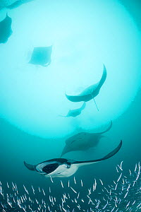 Reef manta rays (Manta alfredi formerly Manta birostris) filter feeding on plankton among Silverside fish that are also feeding on the plankton, Hanifaru Bay, Hanifaru Lagoon, Baa Atoll, Maldives, Ind... - Doug Perrine