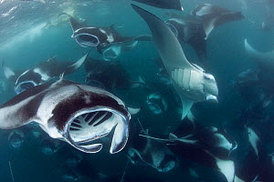 Reef manta rays (Manta alfredi formerly Manta birostris) vortex / cyclone feeding on plankton, Hanifaru Bay, Hanifaru Lagoon, Baa Atoll, Maldives, Indian Ocean, October  -  Doug Perrine