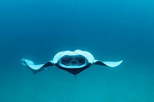 Reef manta ray (Manta alfredi formerly Manta birostris) barrel roll filter feeding on plankton, Hanifaru Bay, Baa Atoll, Maldives, Indian Ocean, October  -  Doug Perrine