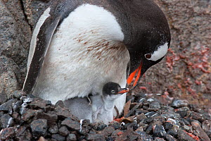 Gentoo Penguin (Pygoscelis papua) feeding a young chick. Port Lockroy, Antarctica, January.  -  Brent Stephenson