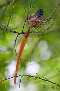 Male African Paradise Flycatcher (Terpsiphone viridis) on the nest. Near the Limpopo River, South Africa, January.  -  Brent Stephenson