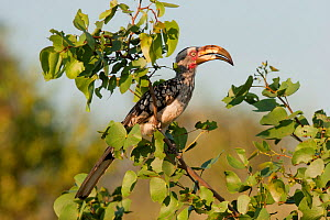 Southern Yellow-billed Hornbill (Tockus leucomelas) perched in a shrub in evening light. Kruger National Park, South Africa, January.  -  Brent Stephenson