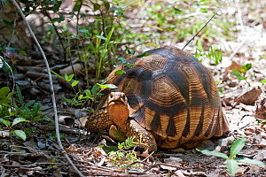 Ploughshare Tortoise or Angonoka (Astrochelys / Geochelone yniphora) on the side of a track showing the upturned projection this animal gets its name from. A radio-transmitter aerial can be seen proje...  -  Brent Stephenson