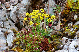 Arctic Whitlow grass (Draba sp.) with yellow flowers.  Krossfjord, Svalbard, July.  -  Brent Stephenson