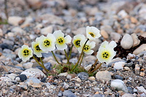 Svalbard poppy (Papaver dahlianum) with white flowers growing amongst the stones. Gashamna, Hornsund, Svalbard, July.  -  Brent Stephenson