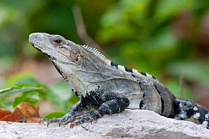Black Iguana (Ctenosaura similis) sunning itself on a rock. Playa del Carmen, Mexico, September.  -  Brent Stephenson