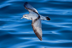 Fairy Prion (Pachyptila turtur) in flight low over the sea surface showing upper wing. Hauraki Gulf, Auckland, New Zealand, October.  -  Brent Stephenson