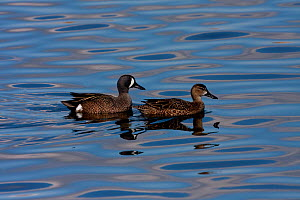 Blue-winged Teal (Anas discors) male (left) and female on water. Canaveral National Seashore, Florida, USA, January.  -  Barry Mansell