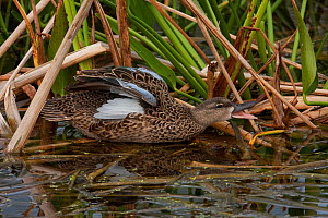 Blue-winged Teal (Anas discors) calling. Everglades National Park, South Florida, USA, March.  -  Barry Mansell
