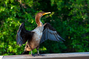 Double-crested Cormorant (Phalacrocorax auritus) in wing-drying posture. Everglades, South Florida, USA, April.  -  Barry Mansell