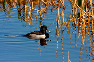 Ring-necked Duck (Aythya collaris) male on water. Merrit Island Florida, USA, January.  -  Barry Mansell