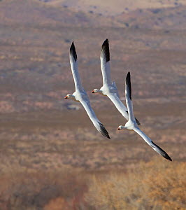 Three Snow Geese banking and gliding in preparation for a landing (Chen caerulescens). Bosque del Apache, New Mexico, January.  -  Charlie Summers