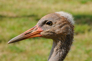 Close up portrait of a Common / Eurasian Crane (Grus grus) chick, ten weeks. Captive reared by the Great Crane Project, WWT Slimbridge, Gloucestershire, UK, July 2011.  -  Nick Upton / 2020VISION