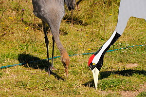 Common / Eurasian Crane (Grus grus) chick, ten weeks, learning to feed on grain scattered around adult crane cut out decoy in feeding posture. Captive reared by the Great Crane Project, WWT Slimbridge...  -  Nick Upton / 2020VISION