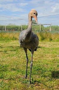 Portrait of a Common / Eurasian Crane (Grus grus) chick, ten weeks, with downy head. Captive reared by the Great Crane Project, WWT Slimbridge, Gloucestershire, UK, July 2011.  -  Nick Upton / 2020VISION
