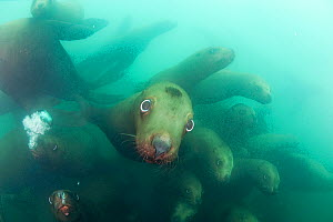 Young Steller's / Steller / Northern Sealions (Eumetopias jubatus) curiously approaching the photographer. Glacier Island, Columbia Bay, Alaska, USA, July. - Doug Perrine