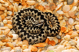 Adder (Vipera berus) basking on pebble beach. Abbotsbury, Dorset, UK, March.  -  Colin Varndell