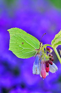 Male Brimstone Butterfly (Gonepteryx rhamni) at rest on comfrey flower, its wings perfectly mimicking a leaf. Dorset, UK, April. - Colin Varndell