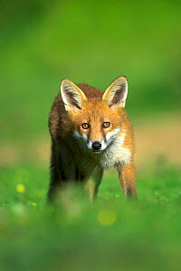 Young Fox (Vulpes vulpes) in late summer. Dorset, UK, August.  -  Colin Varndell