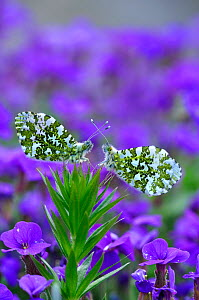 Orange Tip Butterflies (Anthocharis cardamines) at rest on a background of purple flowers. Dorset, UK, April. - Colin Varndell