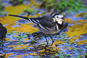 Adult Pied Wagtail (Motacilla alba yarrellii) standing in shallow water. Dorset, UK, January.  -  Colin Varndell