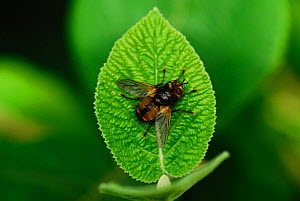 Adult Common Rufous Parasitic Fly (Tachina fera) at rest on wayfaring tree leaf. Dorset, UK, August. - Colin Varndell