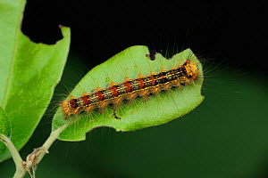 Gypsy Moth (Lymantria dispar) caterpillar on a leaf. Near Neum at border between Croatia & Bosnia, May.  -  Robert Thompson